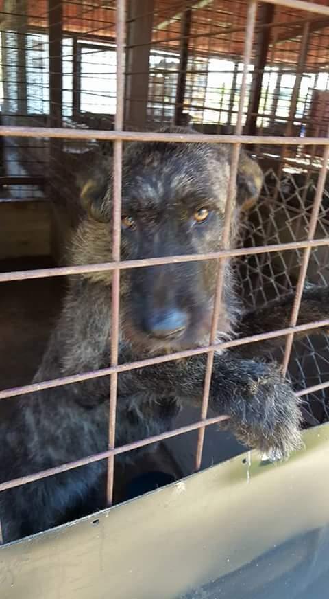 KHIRA F-X Irish wolfhound, née 2016, 38KG (ORASTIE) En pension (Départ41) Fb_i2315