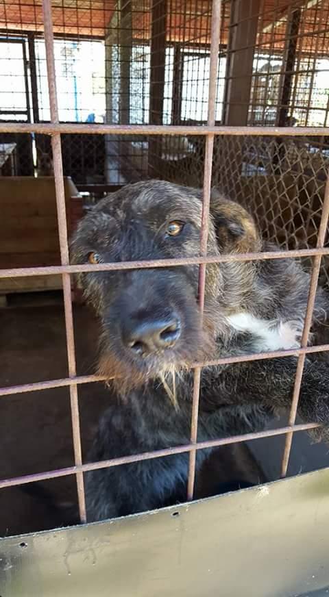 KHIRA F-X Irish wolfhound, née 2016, 38KG (ORASTIE) En pension (Départ41) Fb_i2316