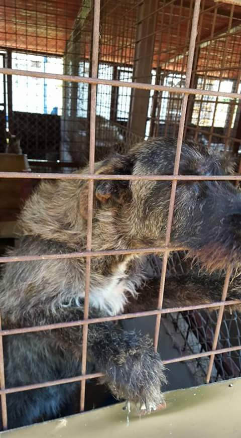 KHIRA F-X Irish wolfhound, née 2016, 38KG (ORASTIE) En pension (Départ41) Fb_i2317
