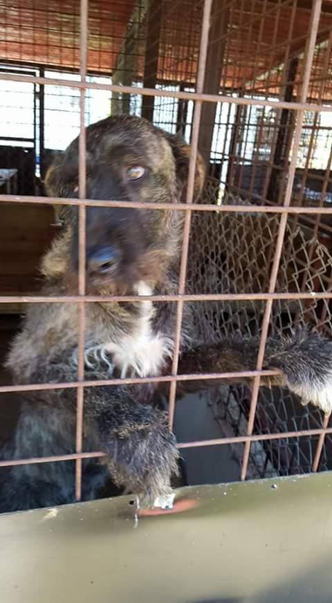 KHIRA F-X Irish wolfhound, née 2016, 38KG (ORASTIE) En pension (Départ41) Fb_i2318