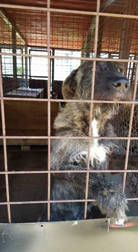 KHIRA F-X Irish wolfhound, née 2016, 38KG (ORASTIE) En pension (Départ41) Fb_i2319