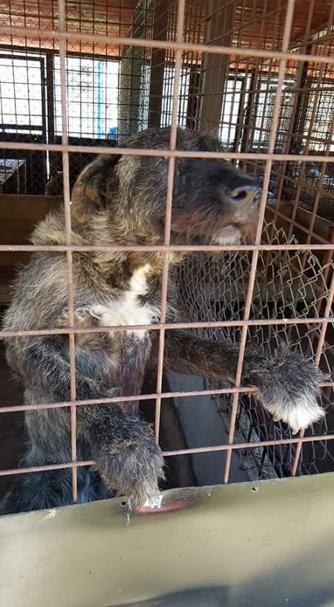 KHIRA F-X Irish wolfhound, née 2016, 38KG (ORASTIE) En pension (Départ41) Fb_i2322