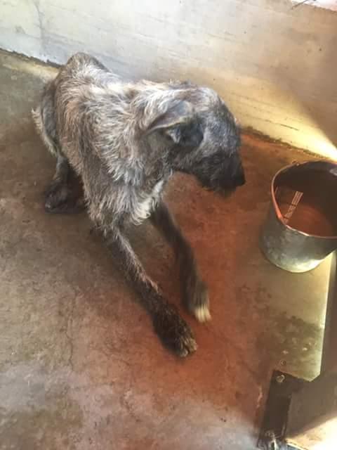 KHIRA F-X Irish wolfhound, née 2016, 38KG (ORASTIE) En pension (Départ41) Fb_i2324