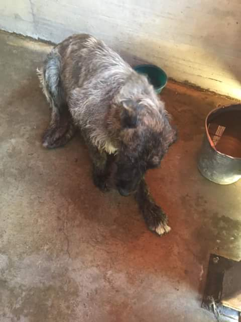 KHIRA F-X Irish wolfhound, née 2016, 38KG (ORASTIE) En pension (Départ41) Fb_i2325