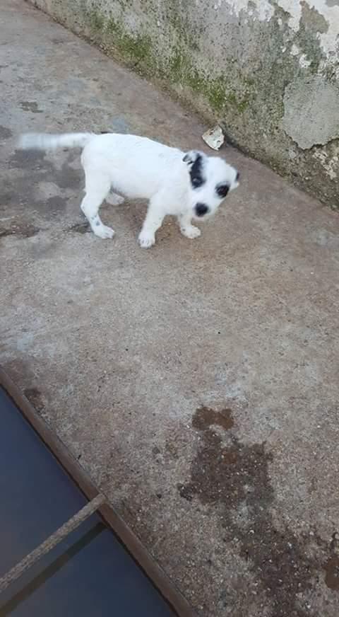 MOJITO ,M-X, né 06/2017 (RUE ORASTIE )-MALE CHIOT DE GINI-Petite taille-Adopté via la SPA de l'Yonne Fb_i2503