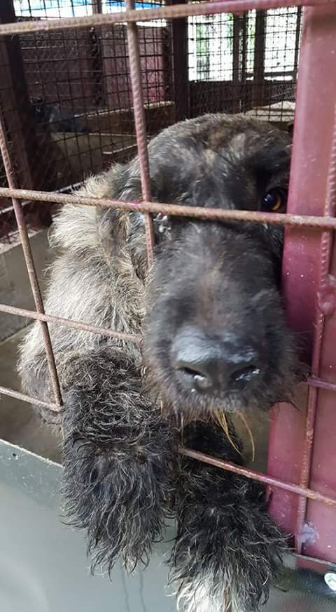 KHIRA F-X Irish wolfhound, née 2016, 38KG (ORASTIE) En pension (Départ41) Fb_i2670