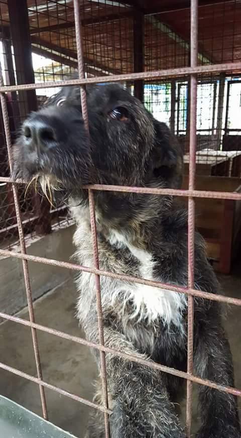 KHIRA F-X Irish wolfhound, née 2016, 38KG (ORASTIE) En pension (Départ41) Fb_i2671