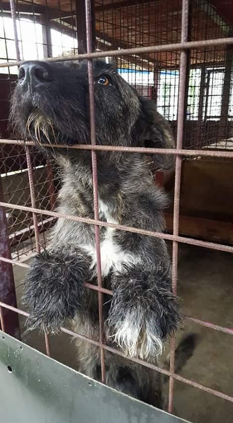 KHIRA F-X Irish wolfhound, née 2016, 38KG (ORASTIE) En pension (Départ41) Fb_i2672