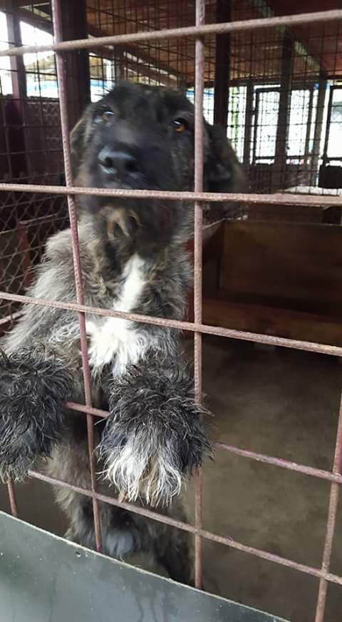 KHIRA F-X Irish wolfhound, née 2016, 38KG (ORASTIE) En pension (Départ41) Fb_i2673