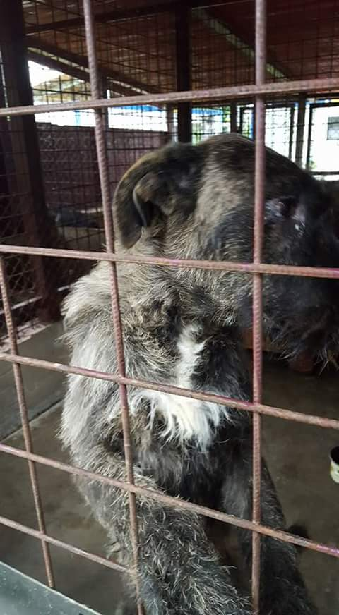 KHIRA F-X Irish wolfhound, née 2016, 38KG (ORASTIE) En pension (Départ41) Fb_i2675