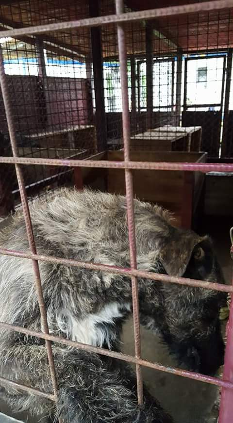 KHIRA F-X Irish wolfhound, née 2016, 38KG (ORASTIE) En pension (Départ41) Fb_i2676
