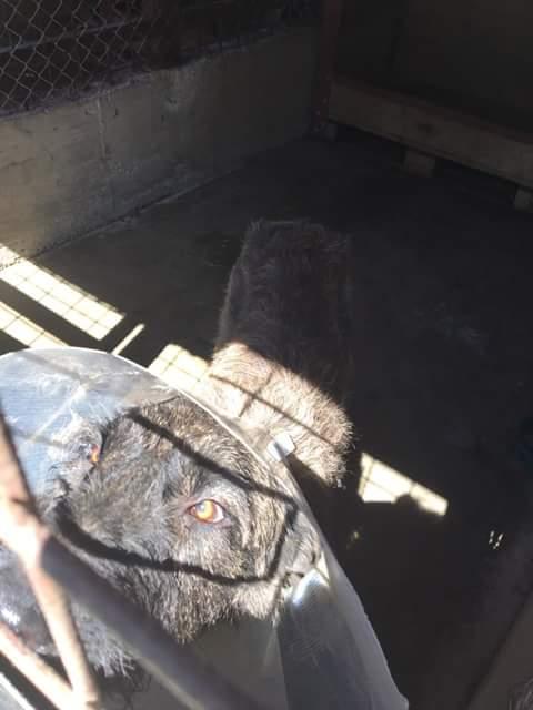 KHIRA F-X Irish wolfhound, née 2016, 38KG (ORASTIE) En pension (Départ41) Fb_i2922