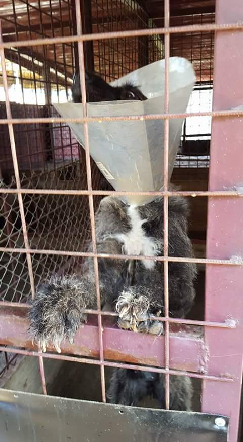KHIRA F-X Irish wolfhound, née 2016, 38KG (ORASTIE) En pension (Départ41) Fb_i2925