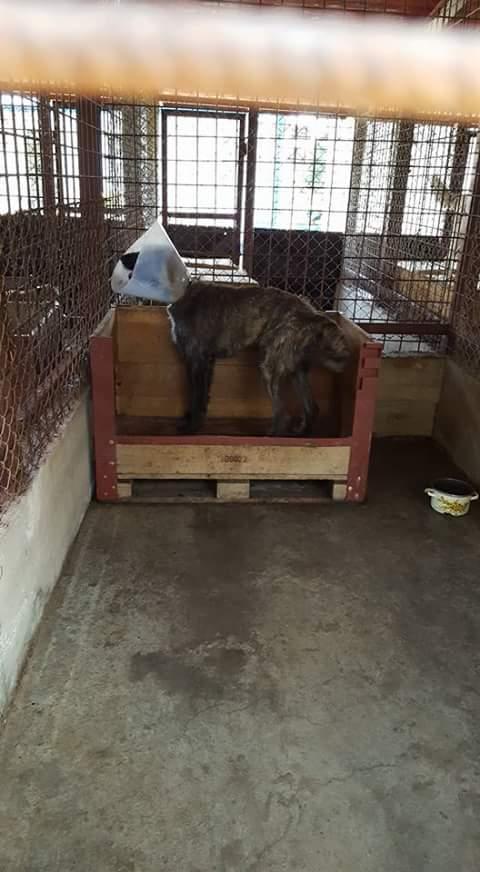 KHIRA F-X Irish wolfhound, née 2016, 38KG (ORASTIE) En pension (Départ41) Fb_i2926