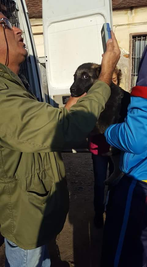 QUITO ,M-X Berger ,né 05/2017 (RUE/ ORASTIE )-SUR TERRAIN VAGUE-Adopté via Résa Refuge pas si bêtes  Fb_i3423