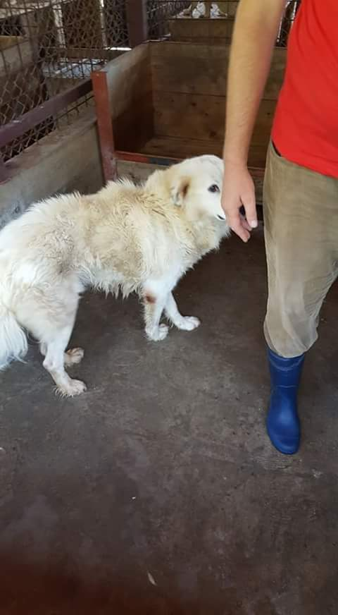 MALOU, M-X, 30kg, né ? (FOURRIERE ORASTIE) - A l'adoption via Refuge Pas si Bêtes Fb_im241
