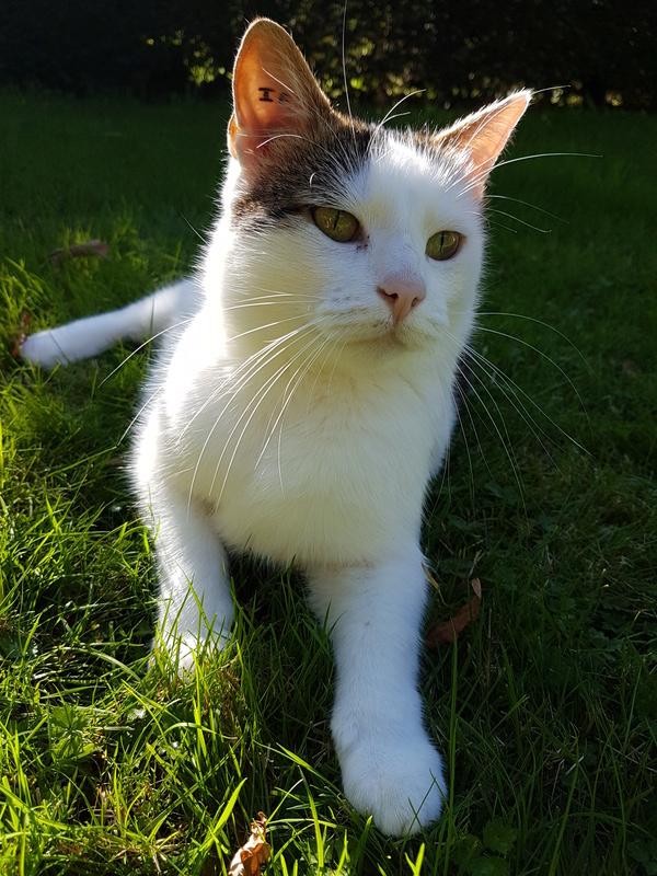 JENNIFER, chatte européenne blanche et tigrée, née en 2014. 20171011
