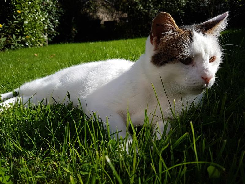 JENNIFER, chatte européenne blanche et tigrée, née en 2014. 20171012