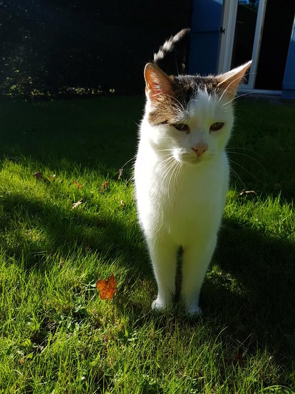 JENNIFER, chatte européenne blanche et tigrée, née en 2014. 20171014