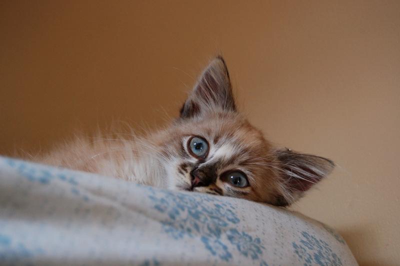 Hinsmi, chaton tout doux ADOPTÉ Dsc_0433