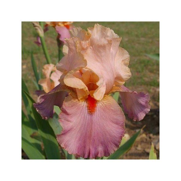 Iris 'Glamazon' - Barry Blyth 2007 9118-i10