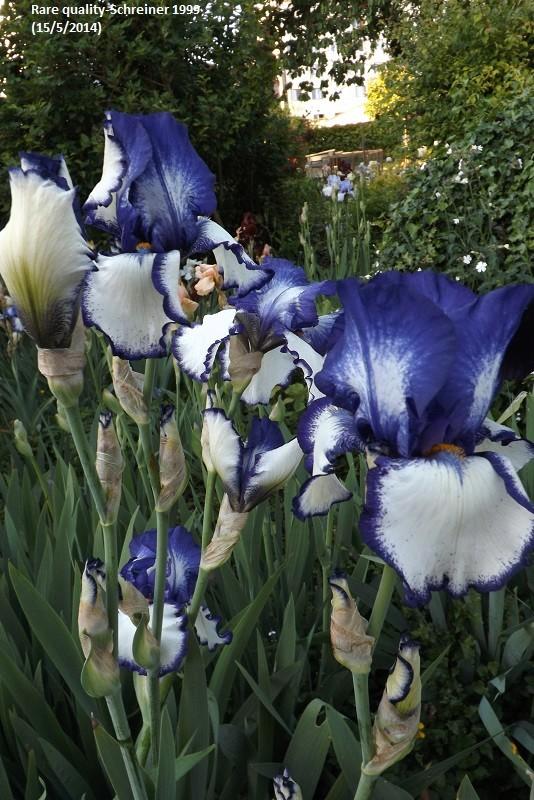 Iris 'Rare Quality' - Schreiner 1999 Dscf0913