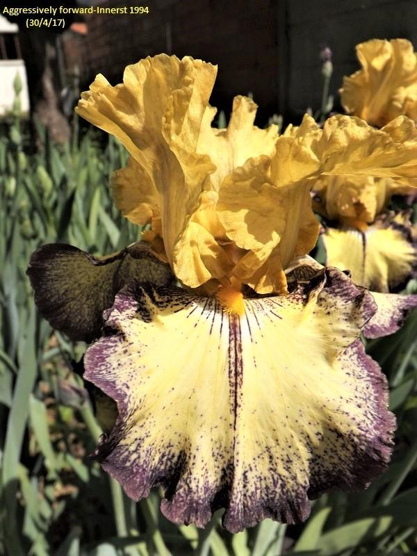 Iris 'Aggressively Forward' - Innerst 1994 Dscf2310