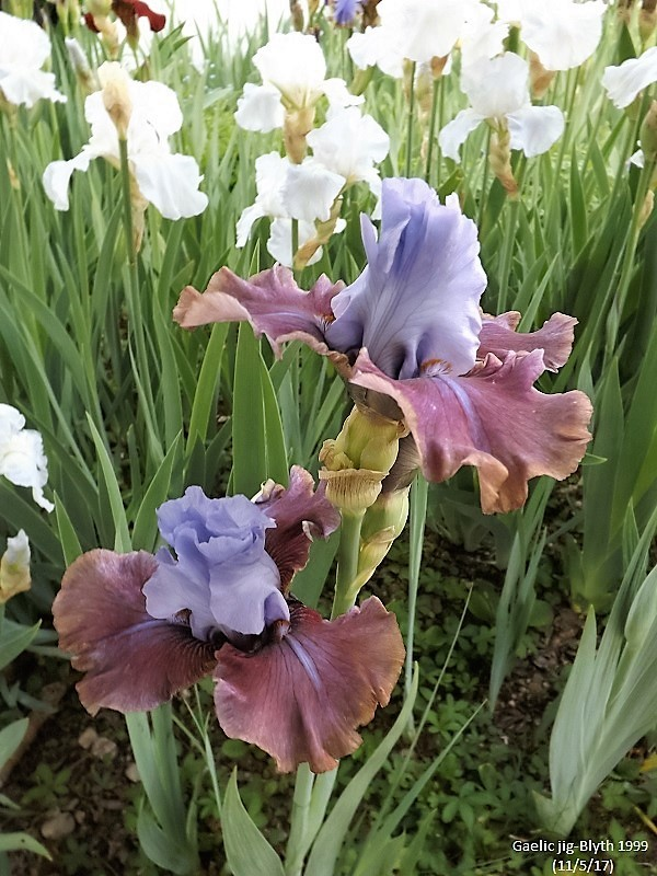 Iris 'Gaelic Jig'- Blyth 1999 Dscf2411