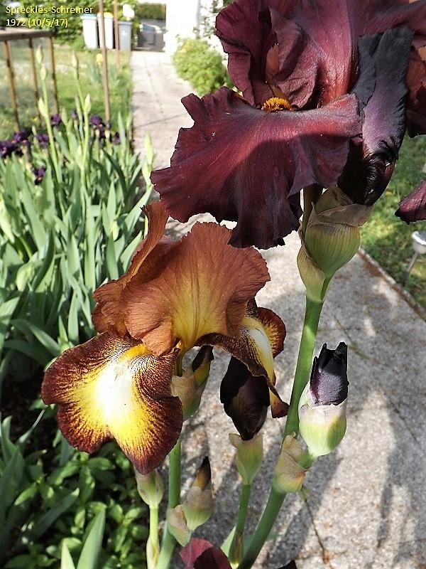 Spreckles - Iris 'Spreckles' - Schreiner 1971 Dscf2414