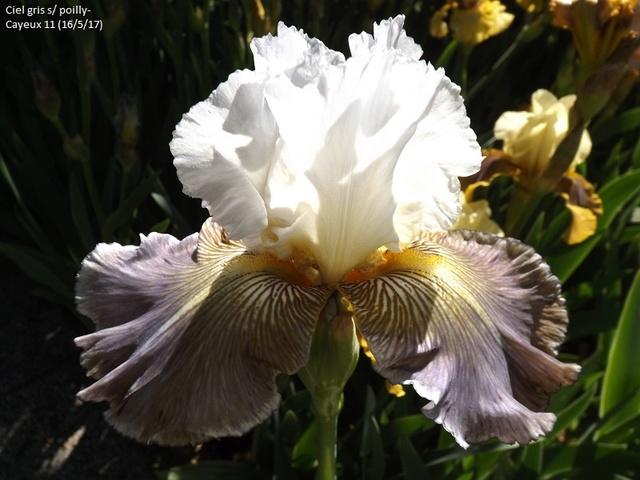 Iris 'Ciel Gris sur Poilly' - Cayeux 2011 Dscf2511