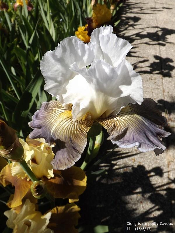 Iris 'Ciel Gris sur Poilly' - Cayeux 2011 Dscf2512