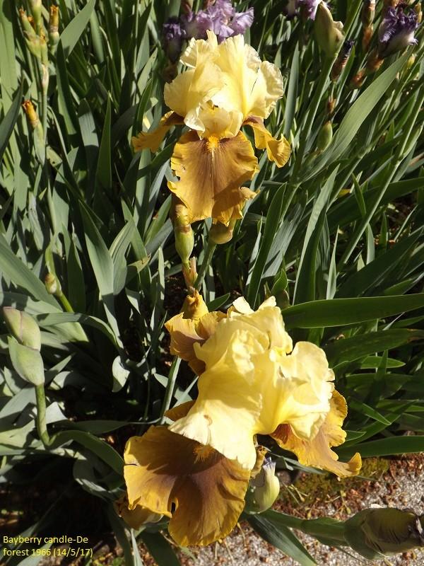 Iris 'Bayberry Candle' - Caroline DeForest 1966 Dscf2513