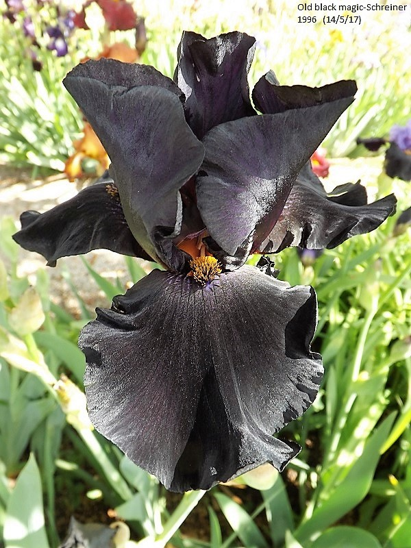 Iris 'Old Black Magic' - Schreiner 1996 Dscf2515