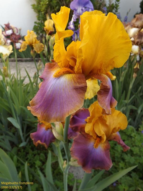 Iris 'Megabucks' - Tompkins 1990 Dscf2627