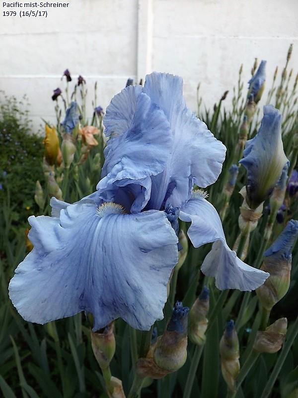 Iris 'Pacific Mist' - Schreiner 1979 Dscf2629