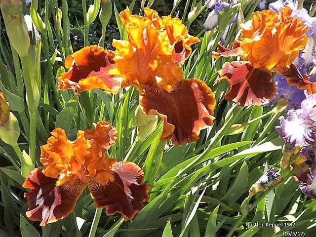 Iris 'Rustler' - Keith Keppel 1987 Dscf2630