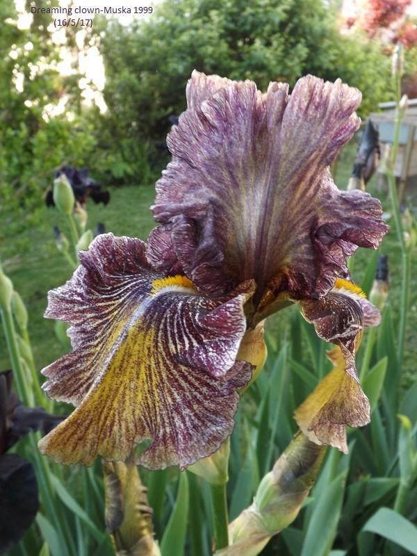 Iris broken color Dscf2635