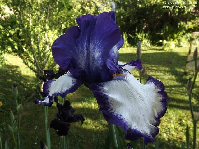 Iris 'Rare Quality' - Schreiner 1999 Dscf2636