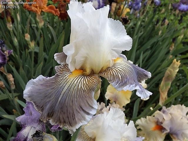 Iris 'Ciel Gris sur Poilly' - Cayeux 2011 Dscf2716