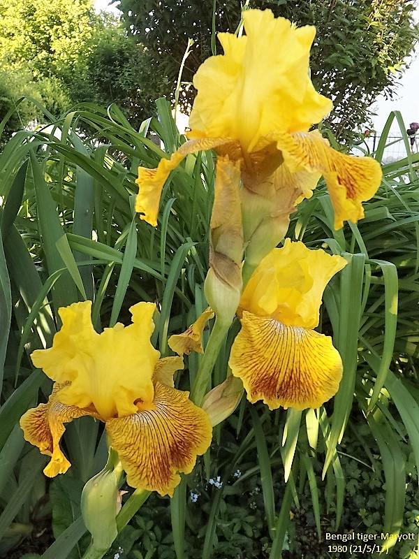 Iris 'Bengal Tiger' - William Maryott 1980 Dscf2722
