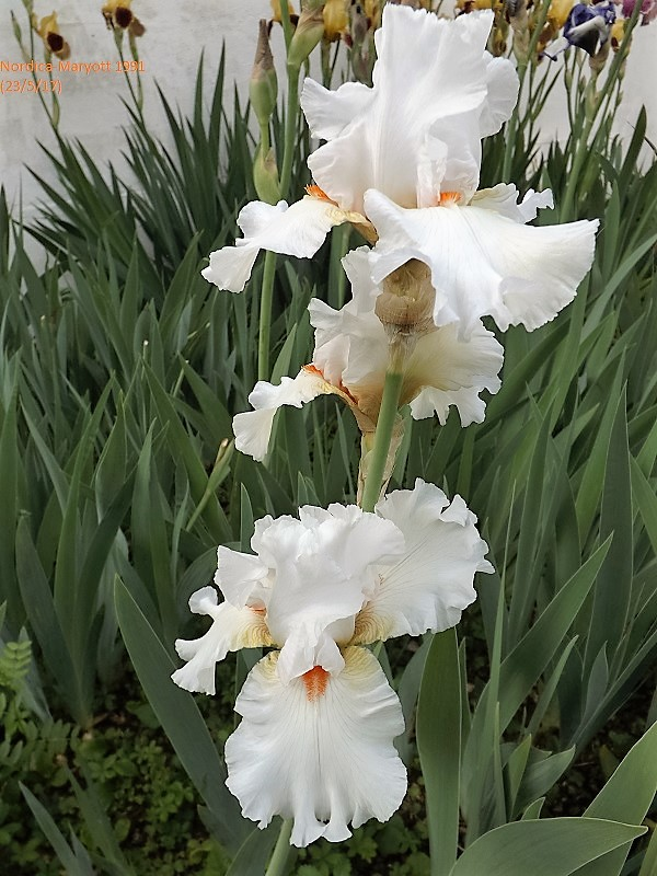 Iris 'Nordica' - Maryott 1991 Dscf2734