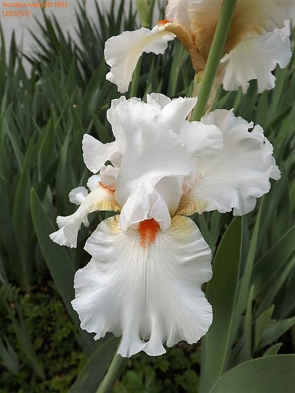 Iris 'Nordica' - Maryott 1991 Dscf2735