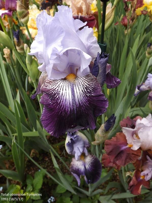 Iris 'Total Obsession' - Tompkins 1993 Dscf2746