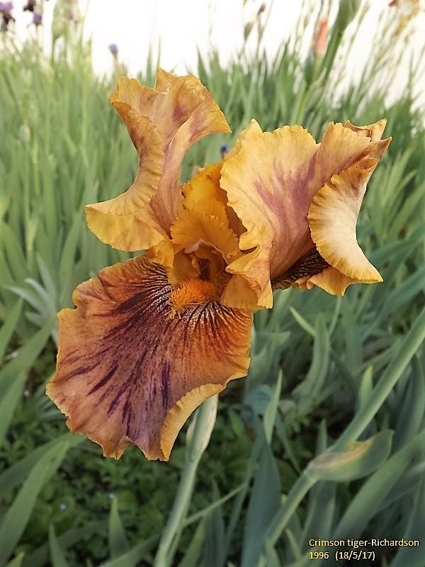 Iris broken color Dscf2749