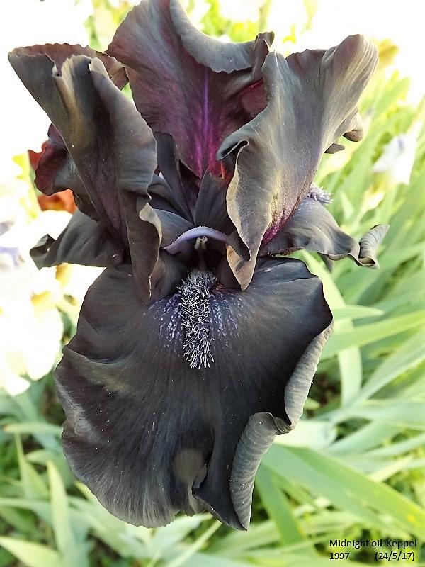 Iris 'Midnight Oil' - Keith Keppel 1998 Dscf2813