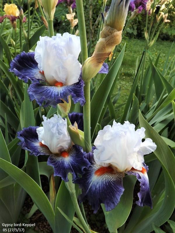 Iris 'Gypsy Lord' - Keppel 2005 Dscf2817