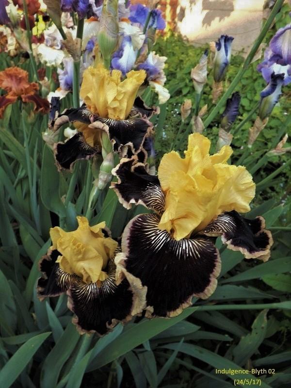 Iris 'Indulgence' - Blyth 2002 Dscf2821