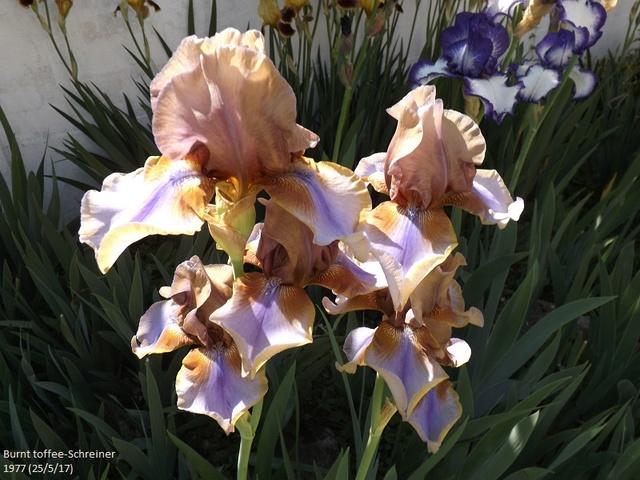 Iris 'Burnt Toffee' - Schreiner 1977 Dscf2829