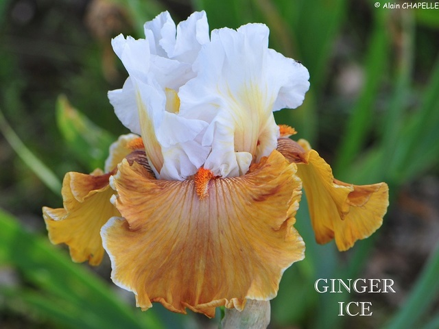 Iris 'Mind's Eye' - Blyth 1994 Ginger10