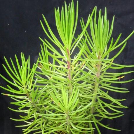 Senecio talinoides subs. cylindricus ? [Identification à suivre] Seneci10